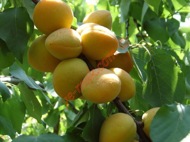 Kayısı Meyve Suyu Malzemeleri